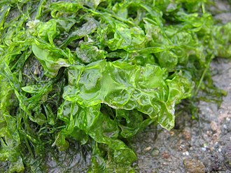 Ulva lactuca - Ulva lactuca in Wismar Bay, Germany
