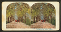 Under the live oaks of a Florida Highway, from Robert N. Dennis collection of stereoscopic views 6.png