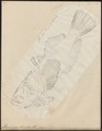 Uranoscopus bicinctus - 1700-1880 - Print - Iconographia Zoologica - Special Collections University of Amsterdam - UBA01 IZ13200023.tif