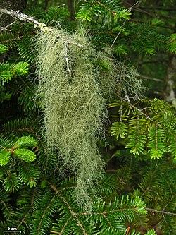 Usnea trichodea - Flickr - pellaea.jpg