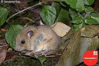 Nilgiri long-tailed tree mouse species of mammal