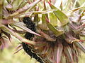 Vanessa cardui Caterpillar 1.jpg