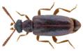 Vanonus brevicornis (Perris, 1869).png