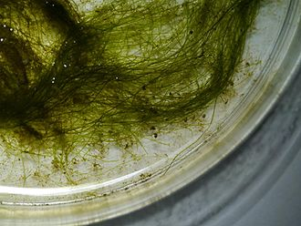 Yellow-green algae - Image: Vaucheria sp thallus 01