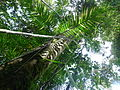 Vegetación de la Reserva de la Biosfera La Amistad Panama (RBLAP) 23.JPG