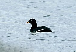 Velvet Scoter, Eyebrook Reservoir, Leics.jpg
