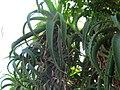 Ventotene Aloe Vera.jpg
