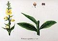 Verbascum cuspidatum — Flora Batava — Volume v11.jpg