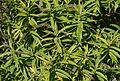 Veronica salicifolia - Jardin des Plantes.jpg