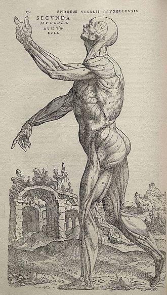 Andreas Vesalius - Image: Vesalius Fabrica p 174