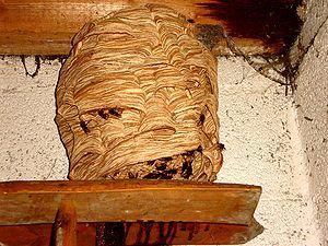 European hornet - Vespa crabro nest