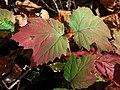Viburnum acerifolium (30701655762).jpg