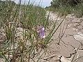 Vicia americana (5822801797).jpg