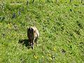Viehgangeln am Grünten (8).jpg