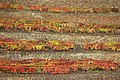 Vineyard patterns (58691622).jpg