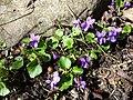 Viola alba subsp. violacea sl16.jpg