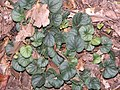 Viola walteri 2zz.jpg