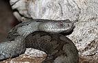 Vipera-ammodytes-ruffoi-weiblich.jpg