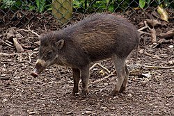 Visayan Warty Pig, Chester Zoo 2.jpg