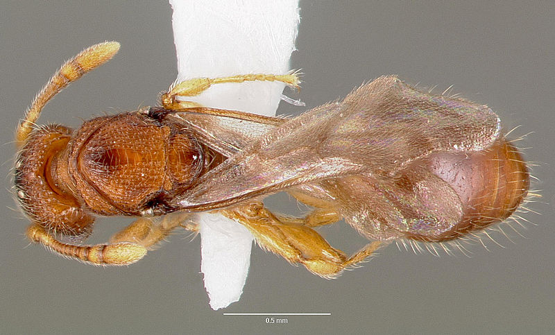 File:Vollenhovia emeryi casent0006077 dorsal 1.jpg
