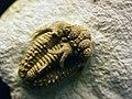 WLA hmns Trilobite Hoplolichoides conicotuberculata.jpg