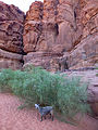 Wadi Rum-Chèvres-Genêts blancs (5).jpg