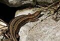 Waldeidechse, Zootoca vivipara 2.JPG