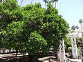 Washington navel tree.jpg