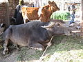 Water buffalo and cow in Egypt.jpg