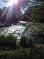 Waterliliessun.jpg