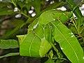 Weaver Ants (Oecophylla smaragdina) nest (15063992073).jpg