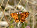 Weavers Fritillary (Clossiana dia) (8332751363).jpg