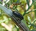 Weevil. Larinus species - Flickr - gailhampshire.jpg