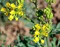 Weinraute (Ruta graveolens) (05).jpg