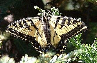 Papilio rutulus - P. rutulus