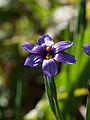 Western Blue-Eyed Grass (Sisyrinchium bellum) (5798521992).jpg
