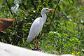 Western Cattle Egret (Bubulcus ibis) (8079752404).jpg