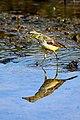 Western Yellow Wagtail (Motacilla flava). മഞ്ഞവാലുകുലുക്കി. (32552051830).jpg