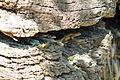 Western fence lizard - Stierch.jpg