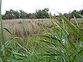 Wetland, Brownsea Island - geograph.org.uk - 1420280.jpg