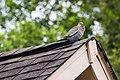 White-Winged Dove (26621984093).jpg