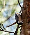 White-breasted Nuthatch (40072773602).jpg