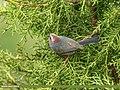 White-browed Tit Warbler (Leptopoecile sophiae) (35743824406).jpg