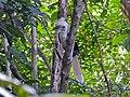 White-crowned Hornbill (Berenicornis comatus) male (8077308970).jpg