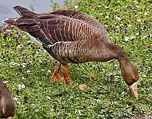 A European white-fronted goose (Anser albifrons albifrons) at Slimbridge Wildfowl and Wetlands Centre