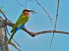 White-fronted Bee-Eater (Merops bullockoides) (6045217985).jpg