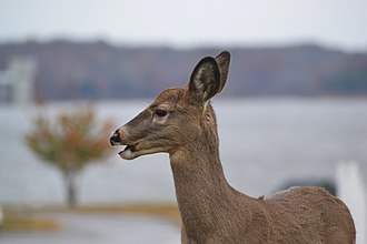 Aguazuque - White-tailed deer formed the main meat in the diet of the inhabitants of Aguazuque