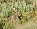 White-tailed jackrabbit on Seedskadee National Wildlife Refuge (34625395894).jpg
