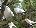 White Tern (Chagos Archipelago) (4115651923).jpg