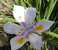 White flower with blue and yellow.jpg